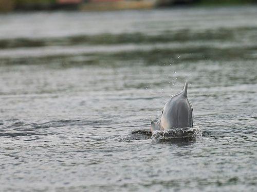 Dolphin_1000x667